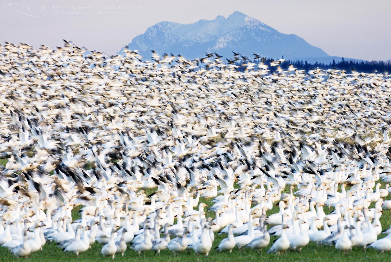 Snow geese Skagit Valley