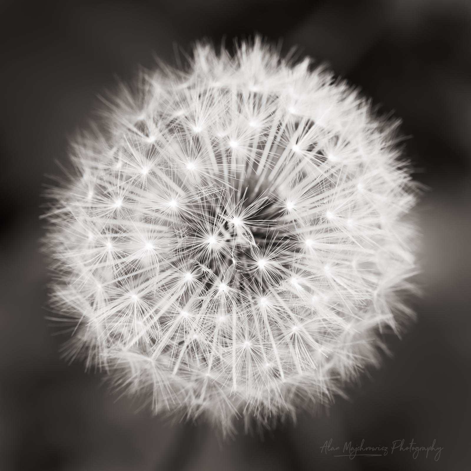 Dandelion seed head BW Photo Highlights 2018