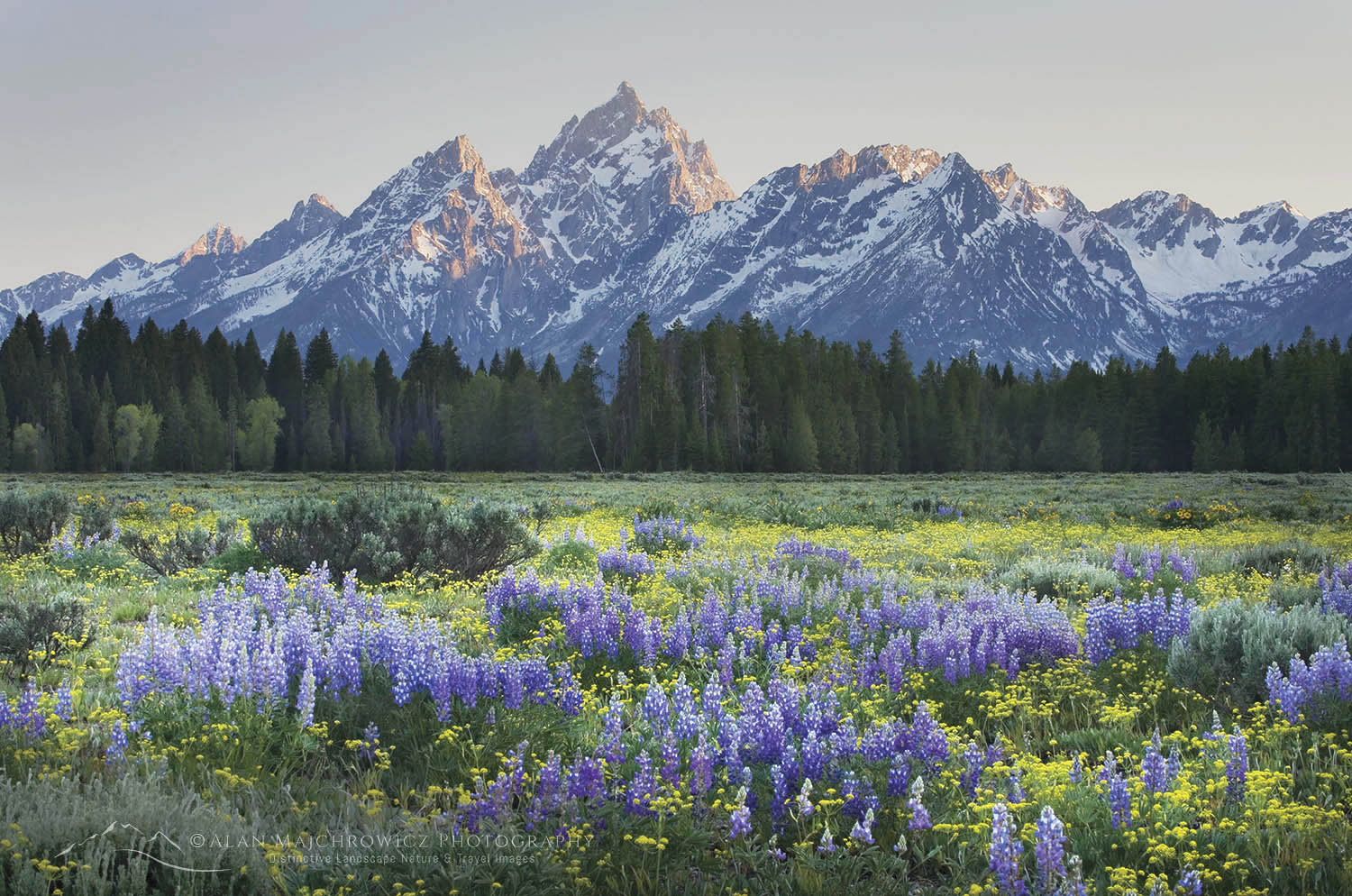 Wildflowers Grand Teton National Park Wyoming