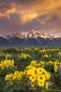 Antelope Flats Wildflowers Grand Teton National Park Wyoming